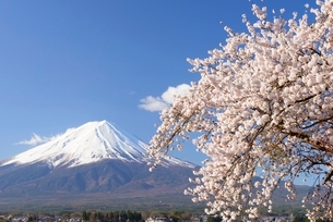 山梨県 河口湖の桜と富士山の写真素材 [FYI01803903]