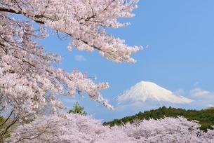 静岡県 岩本山公園のサクラと富士山の写真素材 [FYI01803936]