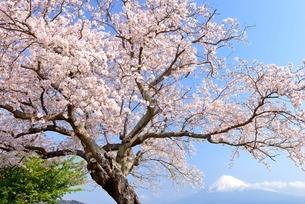 静岡県 雁公園のサクラと富士山の写真素材 [FYI01803982]