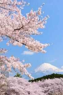 静岡県 岩本山公園のサクラと富士山の写真素材 [FYI01803989]