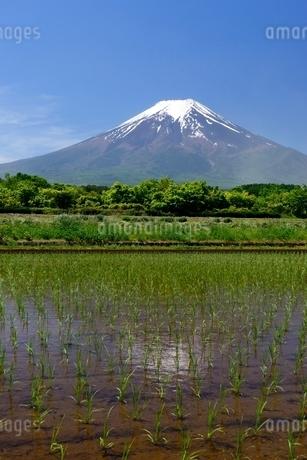 富士吉田市の田植えのされた水田より望む富士山の写真素材 [FYI01804008]