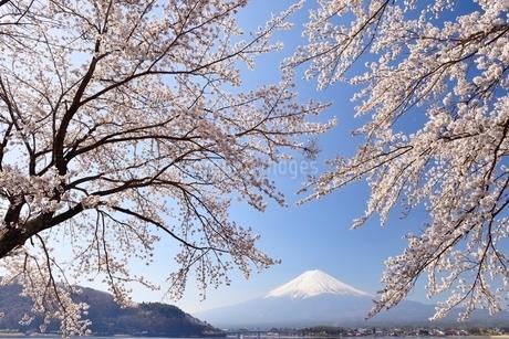 山梨県 河口湖の桜と富士山の写真素材 [FYI01804069]