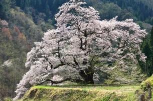 駒つなぎの桜の写真素材 [FYI01804079]