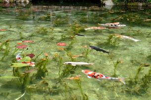 絶景 モネの池 の写真素材 [FYI01804181]