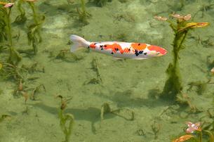 絶景 モネの池 の写真素材 [FYI01804195]