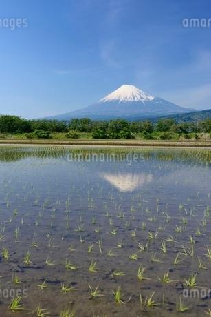 富士市の水田に映る富士山の写真素材 [FYI01804221]