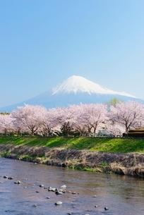 静岡県 潤井川と桜並木と富士山の写真素材 [FYI01804276]