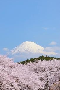 静岡県 岩本山公園のサクラと富士山の写真素材 [FYI01804305]