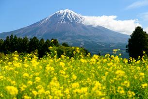 静岡県 菜の花と富士山の写真素材 [FYI01804336]