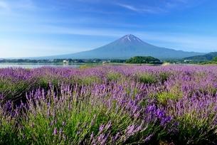 山梨県 大石公園のラベンダー畑と富士山の写真素材 [FYI01804344]