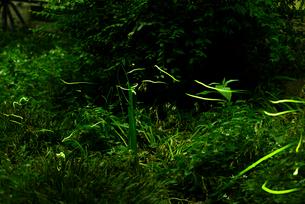 金山緑地公園 ゲンジボタルの写真素材 [FYI01804626]
