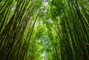 ハワイ マウイ島 竹林の写真素材 [FYI01804658]