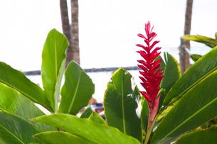 ワイキキビーチに咲くレッドジンジャーの写真素材 [FYI01804737]