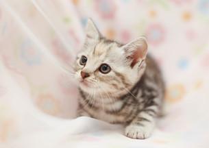 見上げる子猫の写真素材 [FYI01804906]