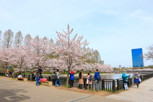 大阪城公園 桜と観光客の写真素材 [FYI01805031]