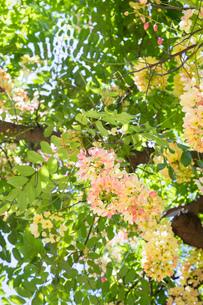 ワイキキに咲き乱れるシャワーツリーの写真素材 [FYI01805051]
