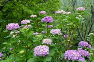 紫陽花の写真素材 [FYI01805298]