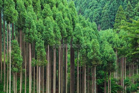北山杉の樹林の写真素材 [FYI01805593]