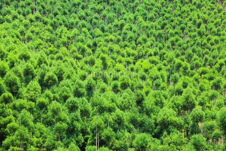 北山杉の樹林の写真素材 [FYI01805625]