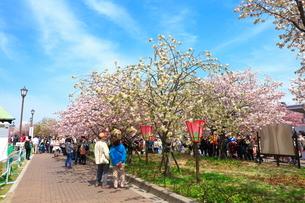 造幣局桜の通り抜けの写真素材 [FYI01805634]