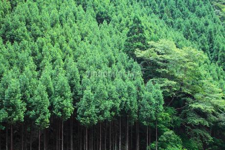北山杉の樹林の写真素材 [FYI01805739]