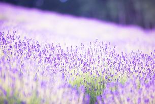 富良野のラベンダー畑の写真素材 [FYI01805772]