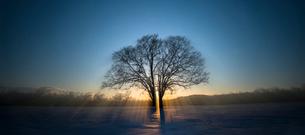 夕日とハルニレの木の写真素材 [FYI01805875]