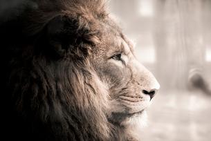 ライオンの写真素材 [FYI01805888]