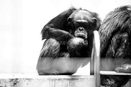 チンパンジーの写真素材 [FYI01805912]
