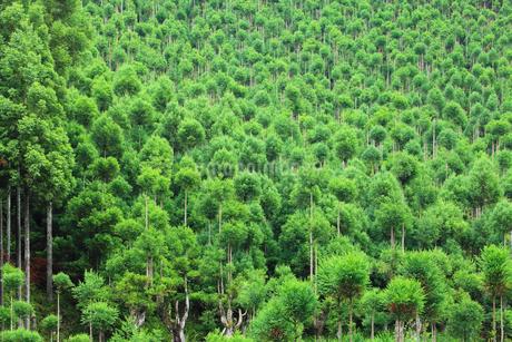北山杉の樹林の写真素材 [FYI01805943]