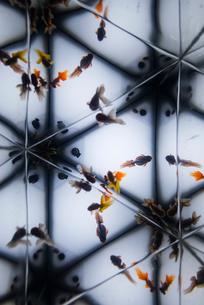 金魚 万華鏡の写真素材 [FYI01806029]