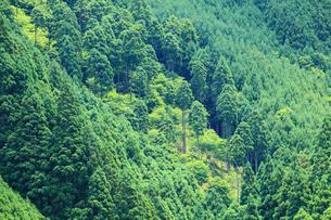 杉の樹林の写真素材 [FYI01806143]