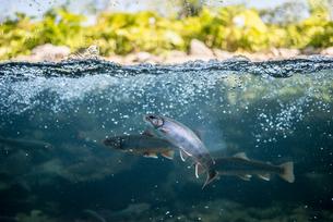 魚 半水面の写真素材 [FYI01806210]