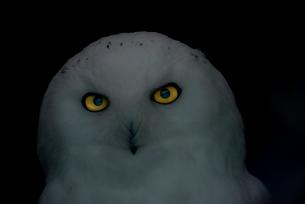 フクロウの写真素材 [FYI01806311]