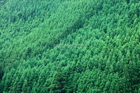 杉の樹林の写真素材 [FYI01806334]