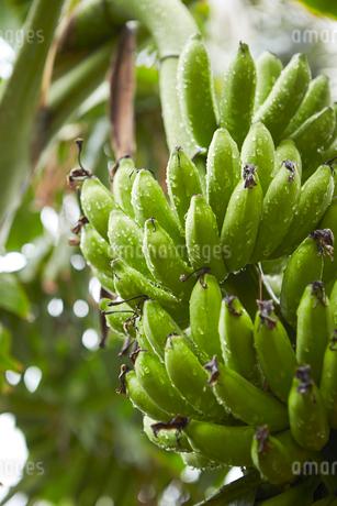 バナナの写真素材 [FYI01806686]