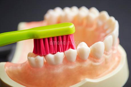 歯ブラシと歯の模型の写真素材 [FYI01807173]