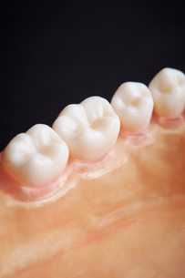 歯の模型の写真素材 [FYI01807182]