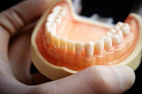 歯の模型の写真素材 [FYI01807250]