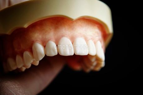歯の模型の写真素材 [FYI01807252]