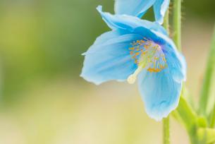 青いケシ(ブルーポピー)の花の写真素材 [FYI01809625]