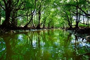 八重山諸島西表島のマングローブ林の写真素材 [FYI01809674]