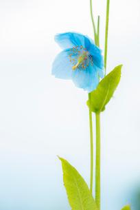 青いケシ(ブルーポピー)の花の写真素材 [FYI01809799]