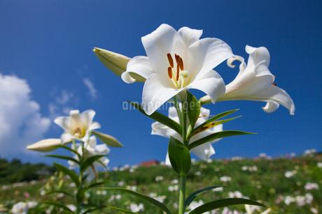 丘に咲くゆりと青空 嬬恋・鹿沢ゆり園の写真素材 [FYI01809847]