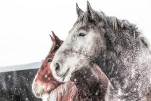 冬の馬の写真素材 [FYI01809925]