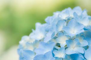 紫陽花(あじさい)の青い花の写真素材 [FYI01809929]
