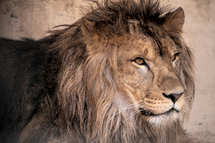 ライオンの写真素材 [FYI01810050]