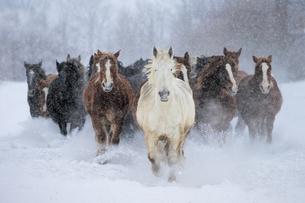 雪原を走る馬の集団の写真素材 [FYI01810106]