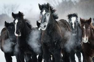 雪原を走る馬の集団の写真素材 [FYI01810110]