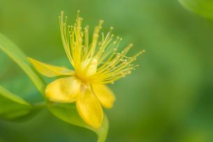コボウズオトギリの花の写真素材 [FYI01810125]